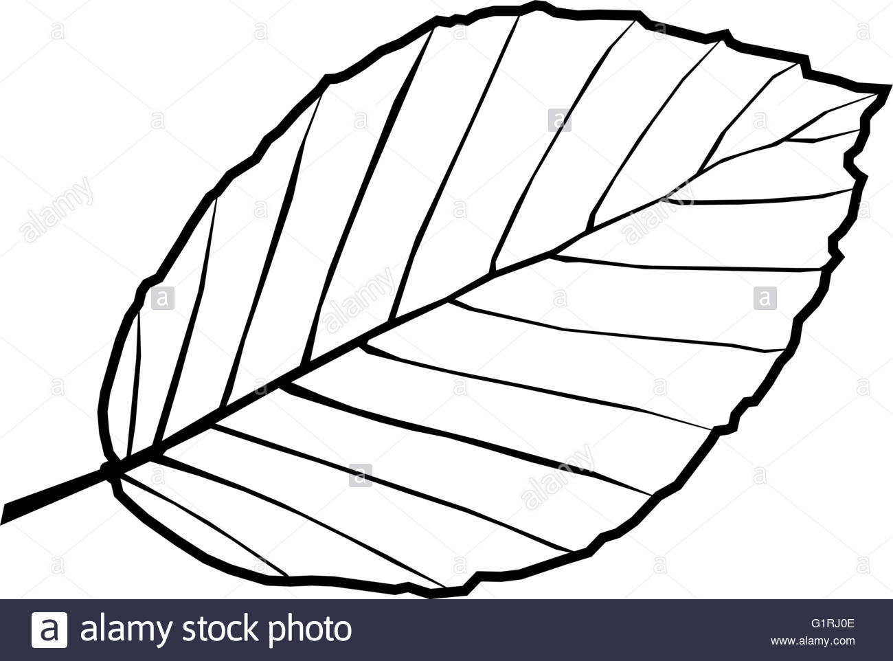 1300x962 Beech,fagus Sylvatica, Vector, Isolated Beech Leaf Stock Vector