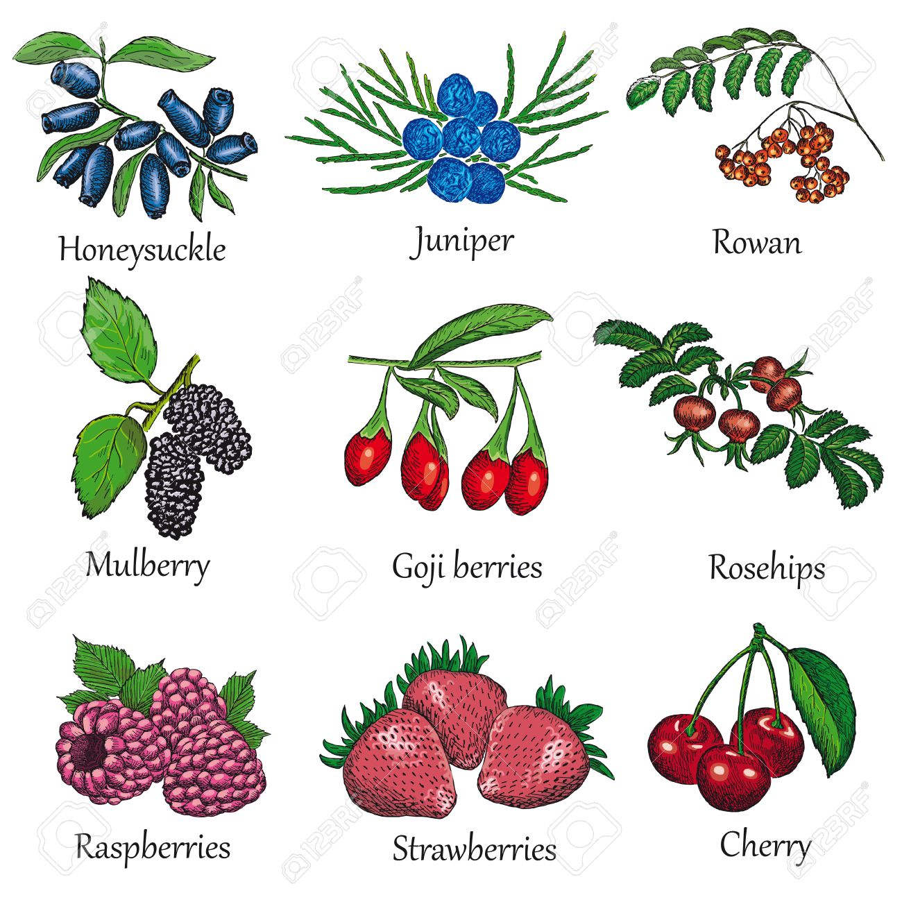 1300x1300 Berries Hand Drawing Set Royalty Free Cliparts, Vectors, And Stock