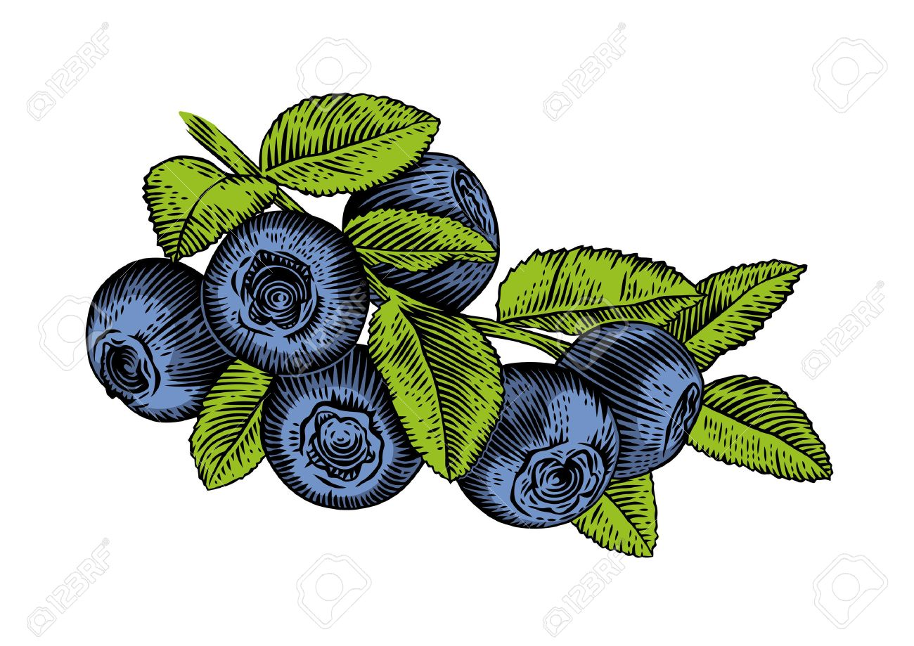 1300x919 Drawing Of Branch Of Blueberry With Leaves And Berries Royalty