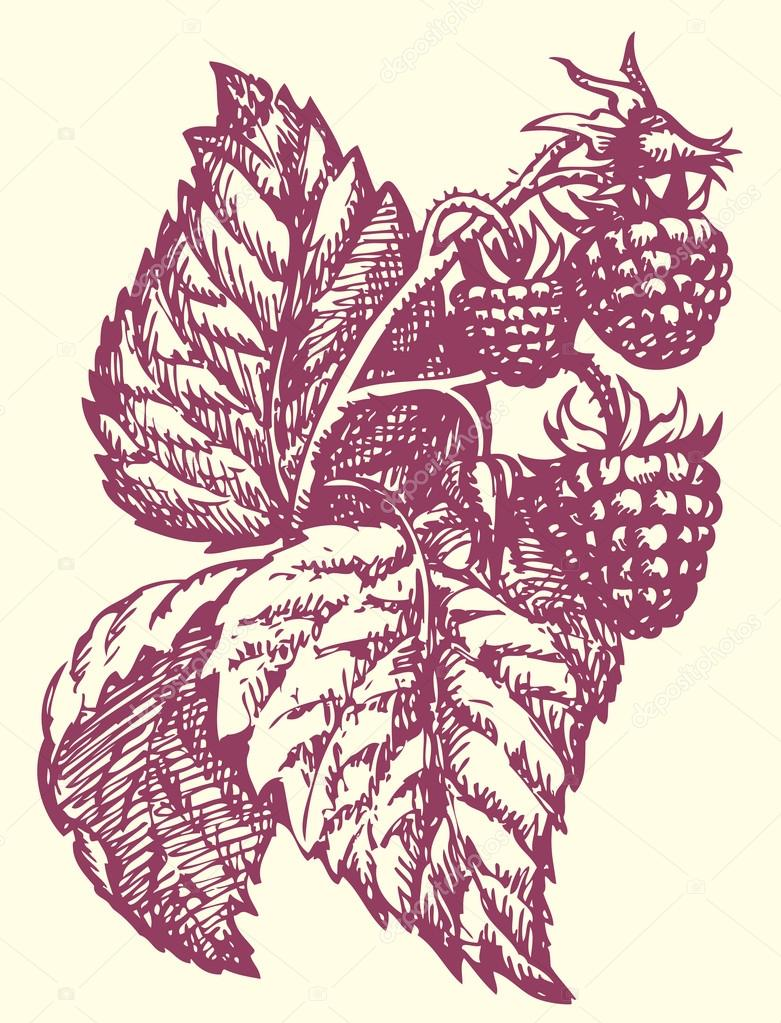 781x1023 Vector Drawing. Raspberry Twig With Berries And Leaves Stock