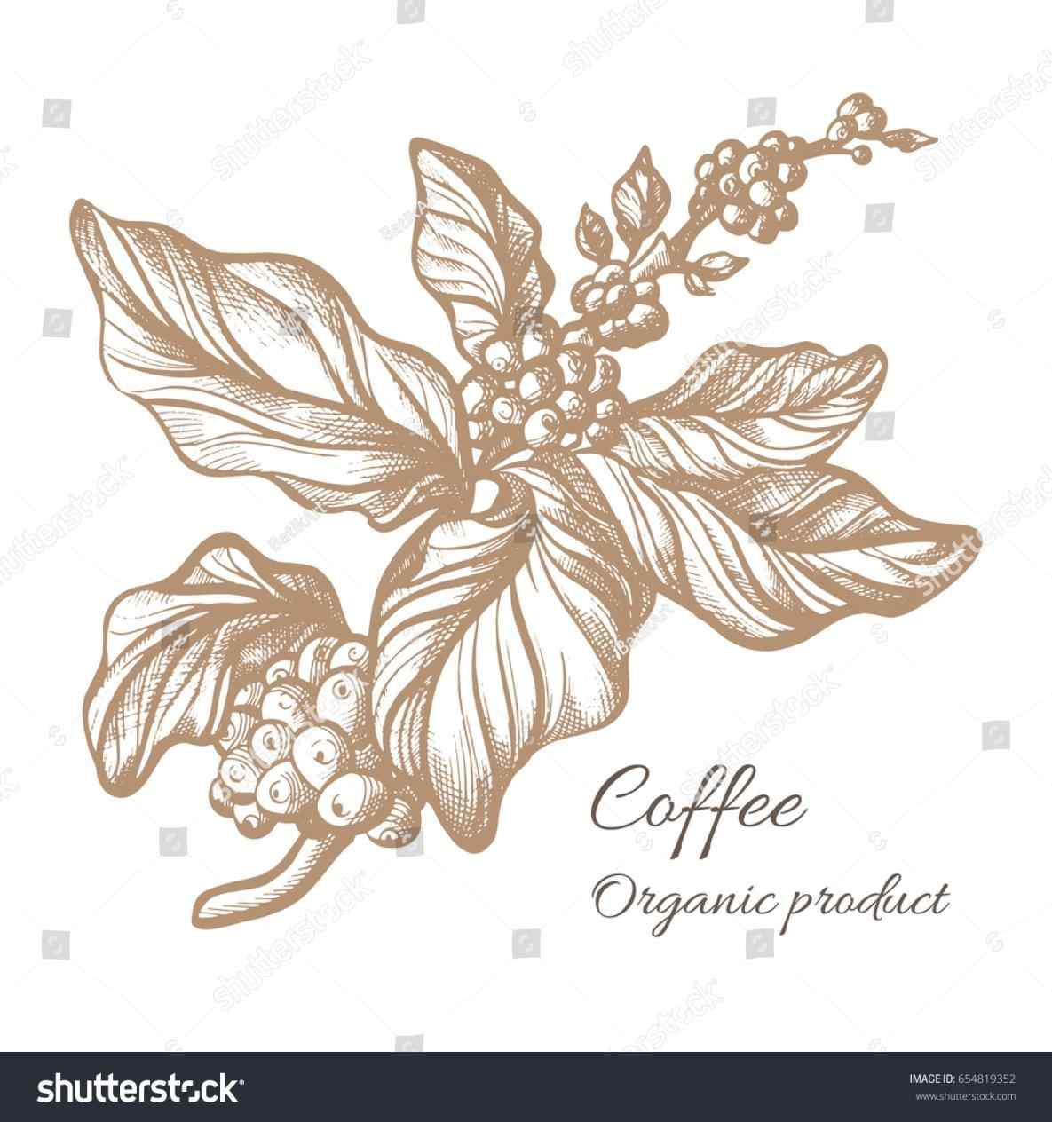 1185x1264 The Images Collection Of Coffee Bean Plant Drawing Leaf Berry