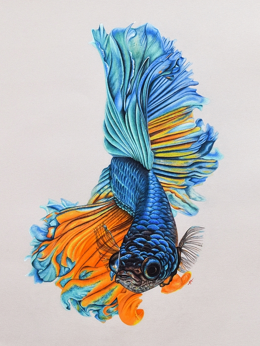 527x700 Betta Fish 6 Drawing By Biophilic Art