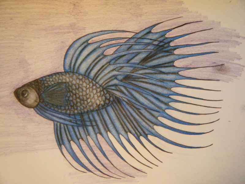 800x600 First Betta Drawing By Runninghorsespirit