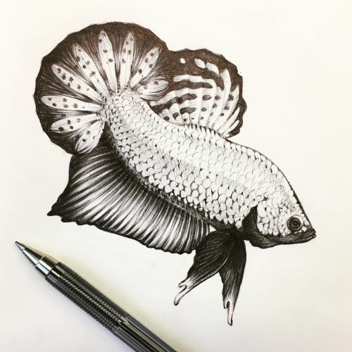 500x500 Betta Drawings Tumblr