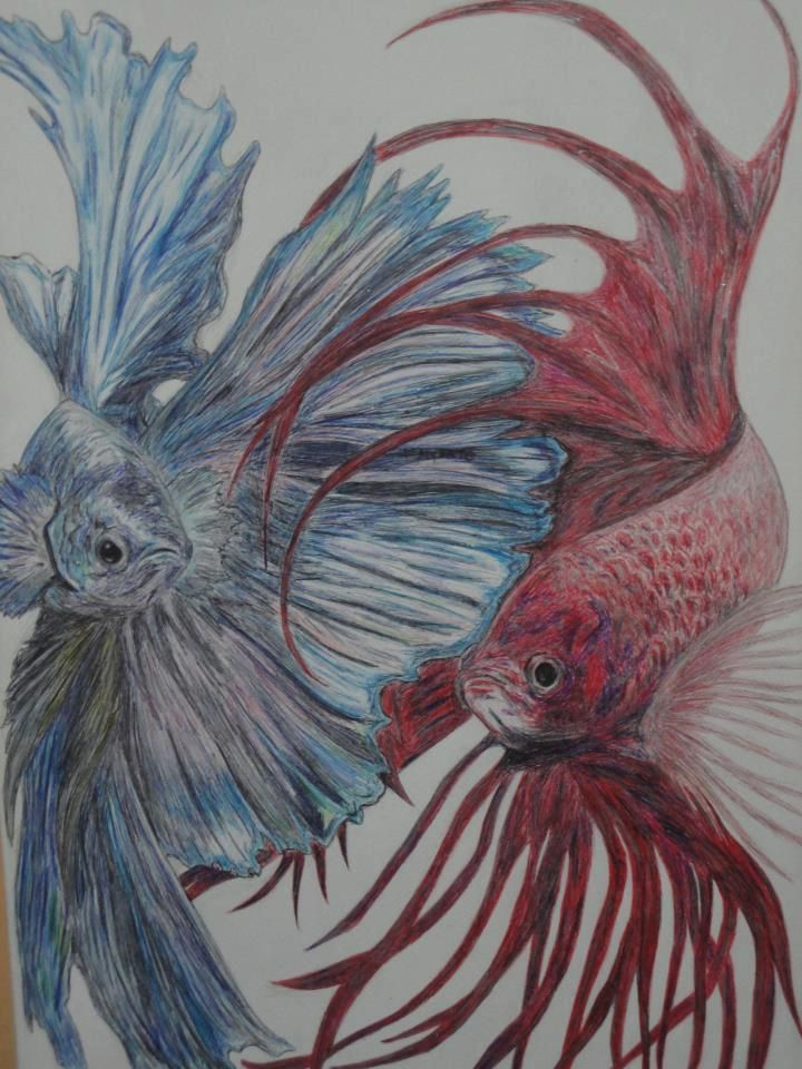 720x960 Betta Fish Drawing