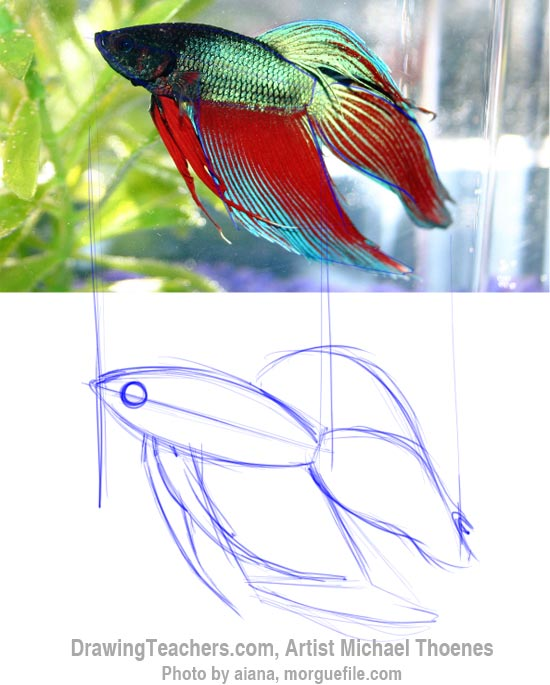 550x685 How To Draw A Siamese Fighting Fish