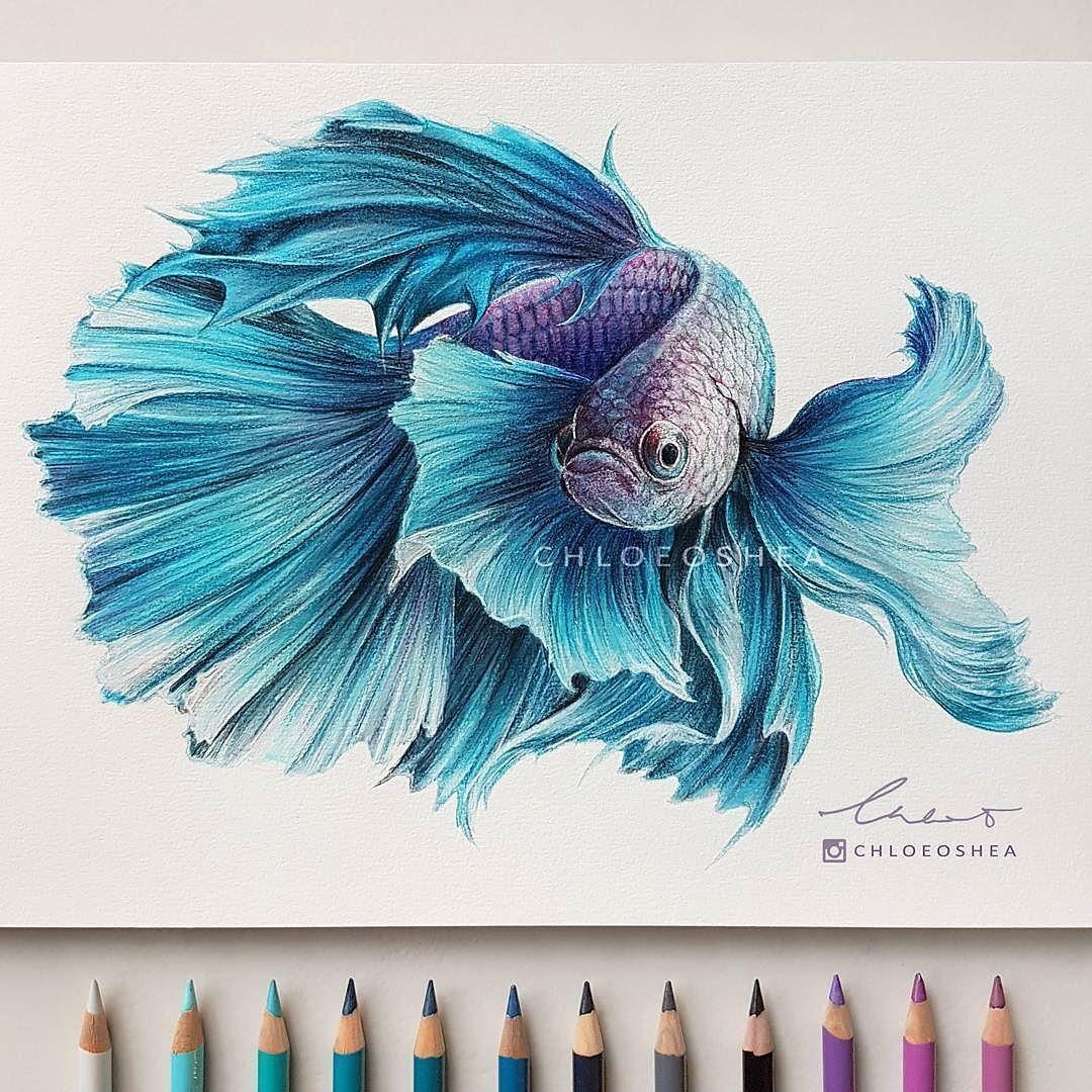 1080x1080 Repost From @chloeoshea Bettasiamese Fighting Fish Drawing I
