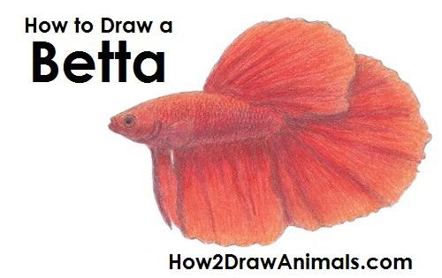 500x315 To Draw A Betta Fish