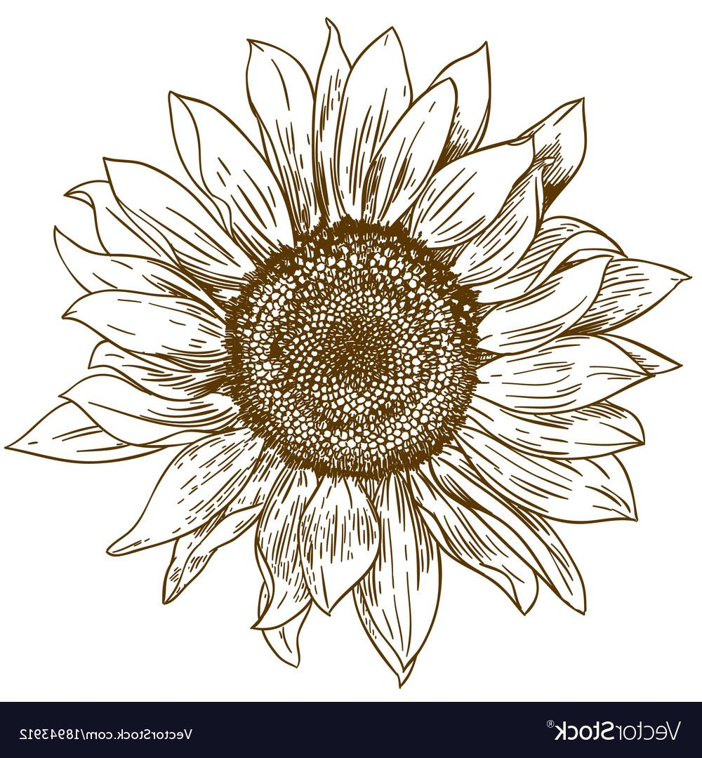 1000x1080 Best 15 Engraving Drawing Of Big Sunflower Vector