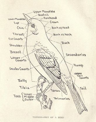 328x415 Anatomy Of A Bird Drawing