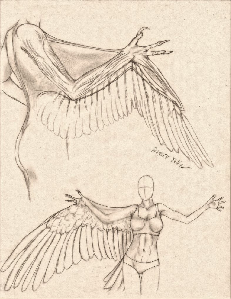 786x1017 Anthro Avian Armwing Comparative Anatomy Study By Russelltuller
