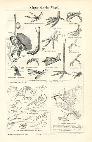 315x486 Bird Anatomy, Historical Ornithology Print,1894 Original Antique