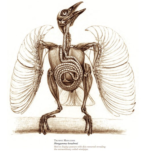 500x547 The Unfeathered Bird An Illustrated History Of Avian Anatomy