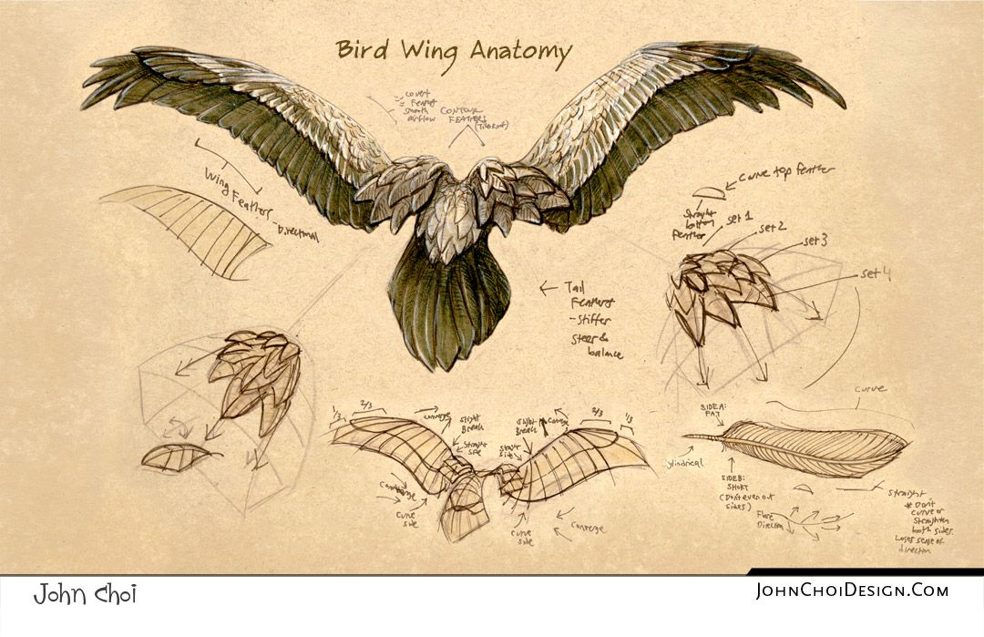 1080x699 Anatomy Of Birds Drawing