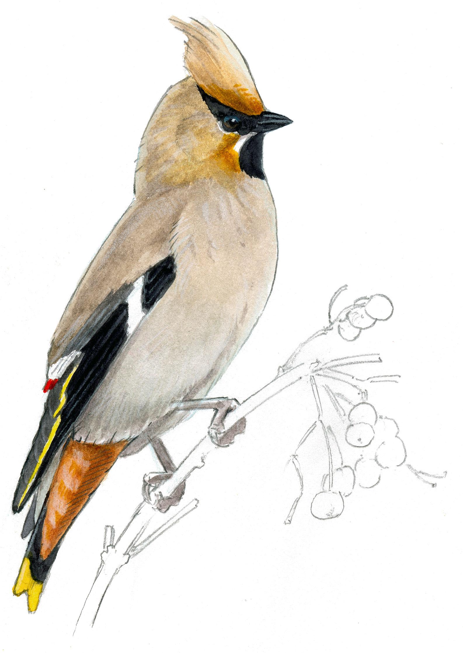 1586x2236 How To Draw A Bird Audubon