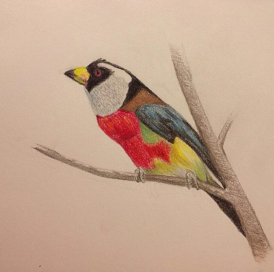 900x894 Colourful Bird In Tree Drawing By Kassidy Bonertz