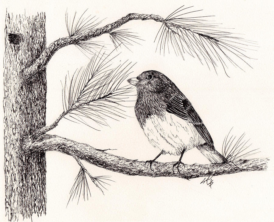 900x730 Junco In The Pine Tree Drawing By Syl Lobato