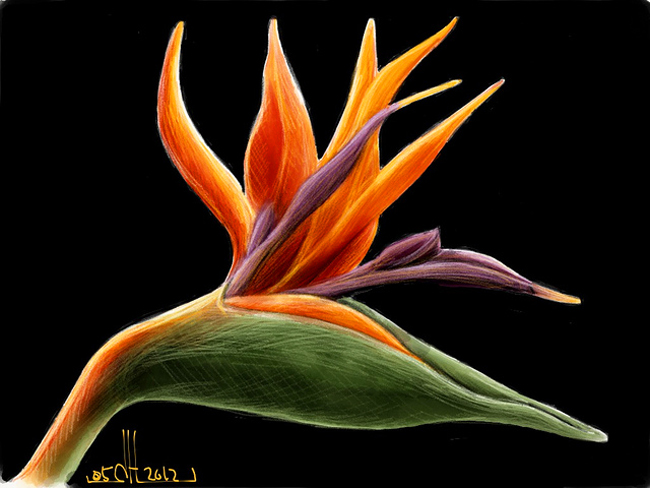 bird of paradise flower drawing at getdrawings com free for