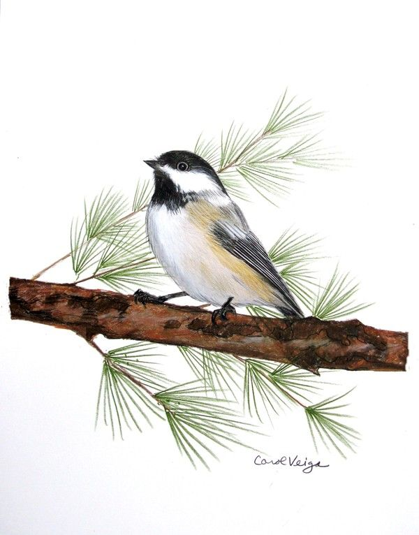 600x766 Bird Colored Pencil Drawings By Carol Veiga, Via Behance Colored