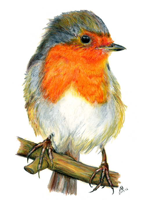 500x687 Robin Red Breast, Watercolour Pencil Drawing Birds