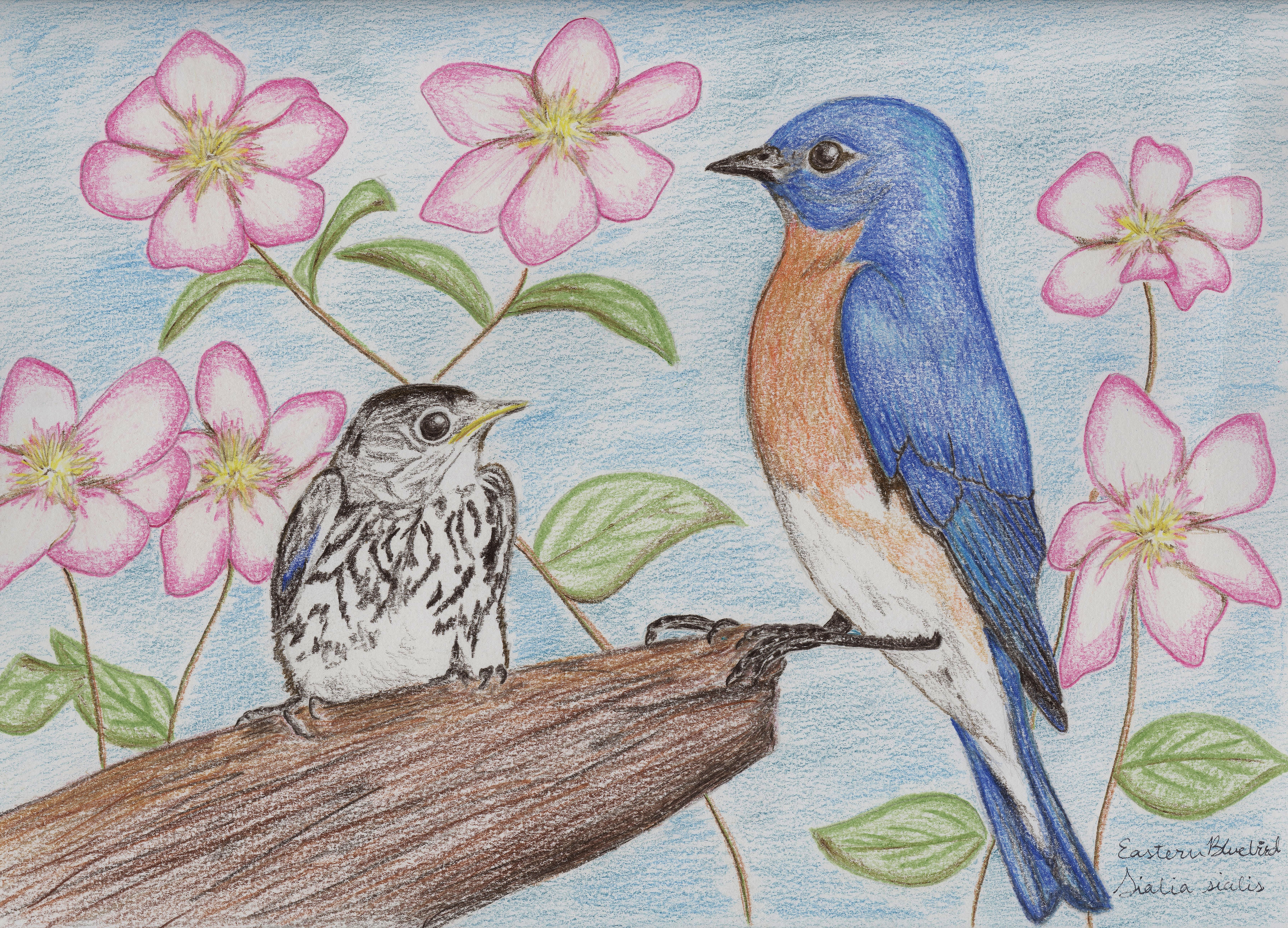 7148x5148 Eastern Bluebird Drawing (2) Standingoutinmyfield