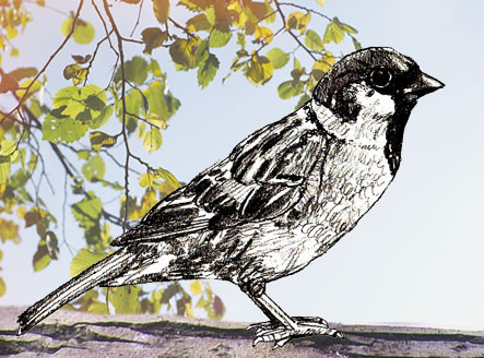 443x328 How To Draw A Sparrow