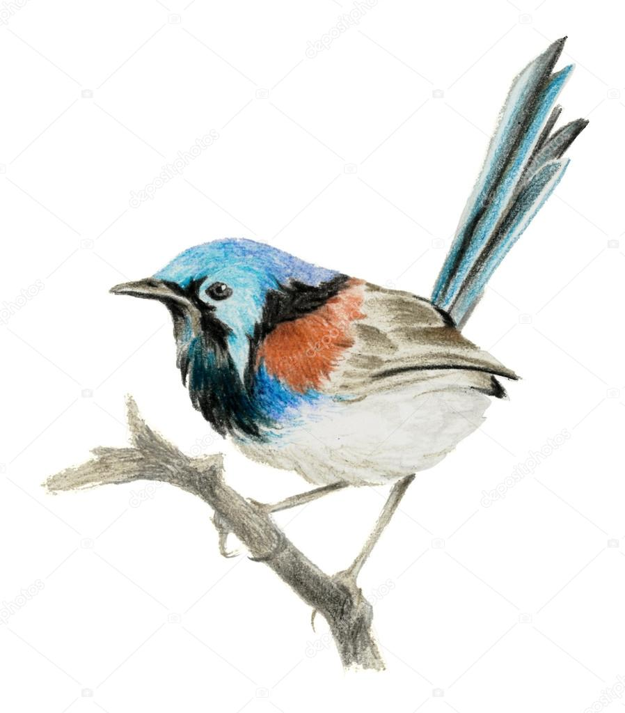 898x1024 Lovely Fairy Wren (Malyur) Sitting On A Branch. Color Pencil
