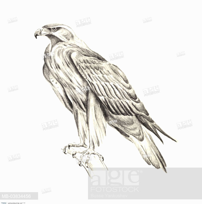 700x706 Pencil Drawing, Branch, Eagles, On The Side, Sw, Drawing