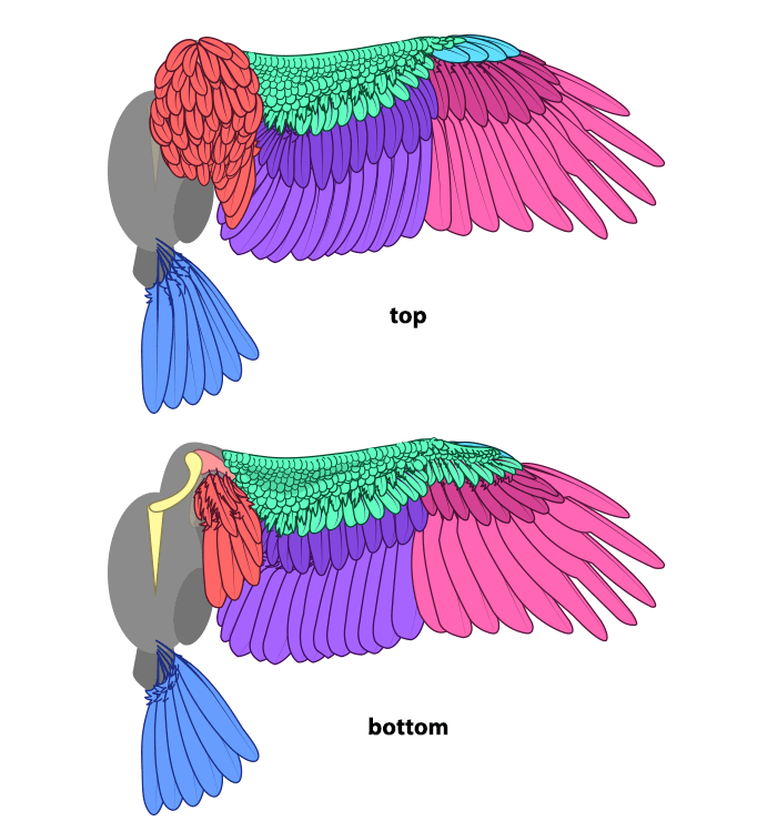 700x749 How To Draw And Animate Wings Birds, Bats, And More