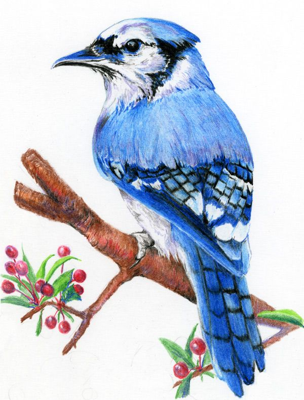 600x788 original colored pencil bird drawing 8x11 inch bird art racket
