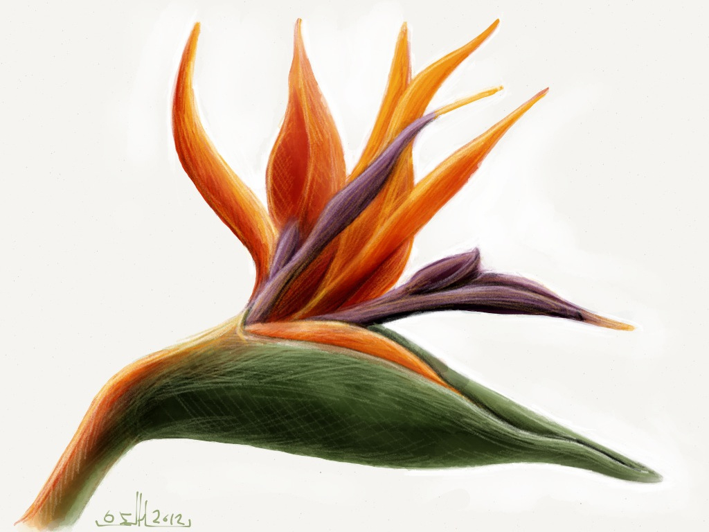 This is a graphic of Priceless Bird Of Paradise Drawing