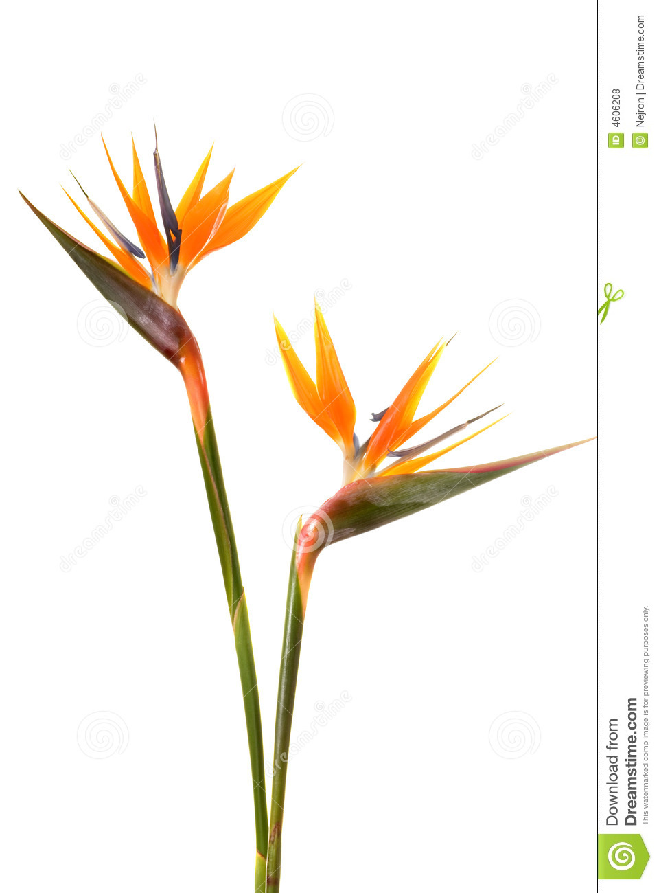 birds of paradise flower drawing at getdrawings com free for