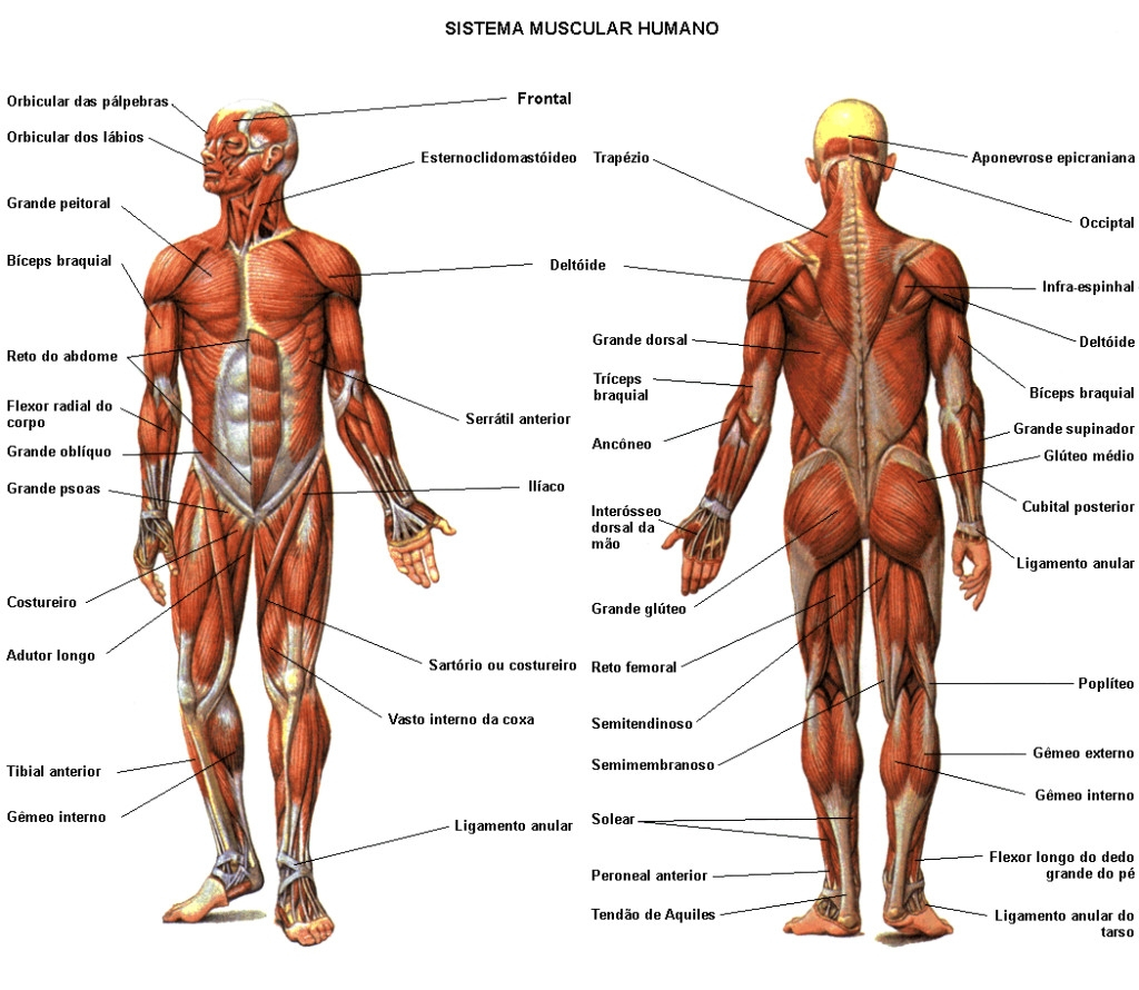 1024x890 Muscle Blank Diagram Human Body Muscle Blank Drawing