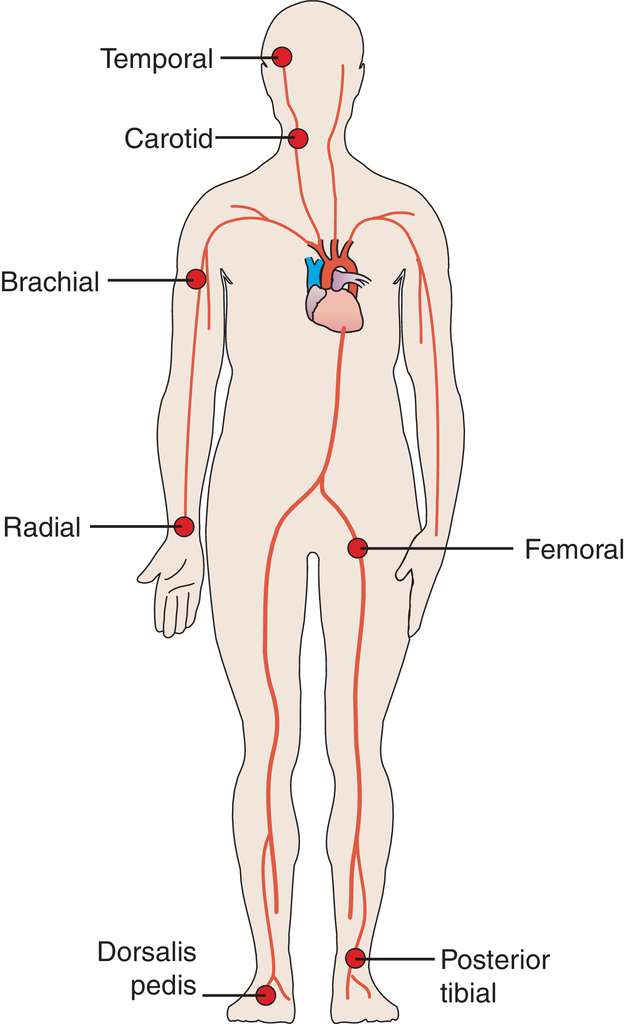 625x1024 Full Size Picture Pulse Points.jpg Human Body