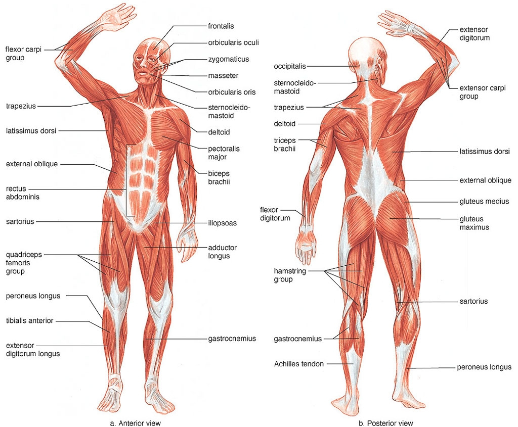 1024x845 Muscle Blank Diagram Human Body Muscle Blank Drawing