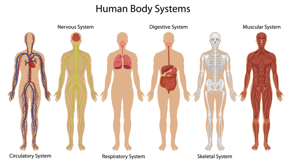 931x536 Human Body Diagram Outline