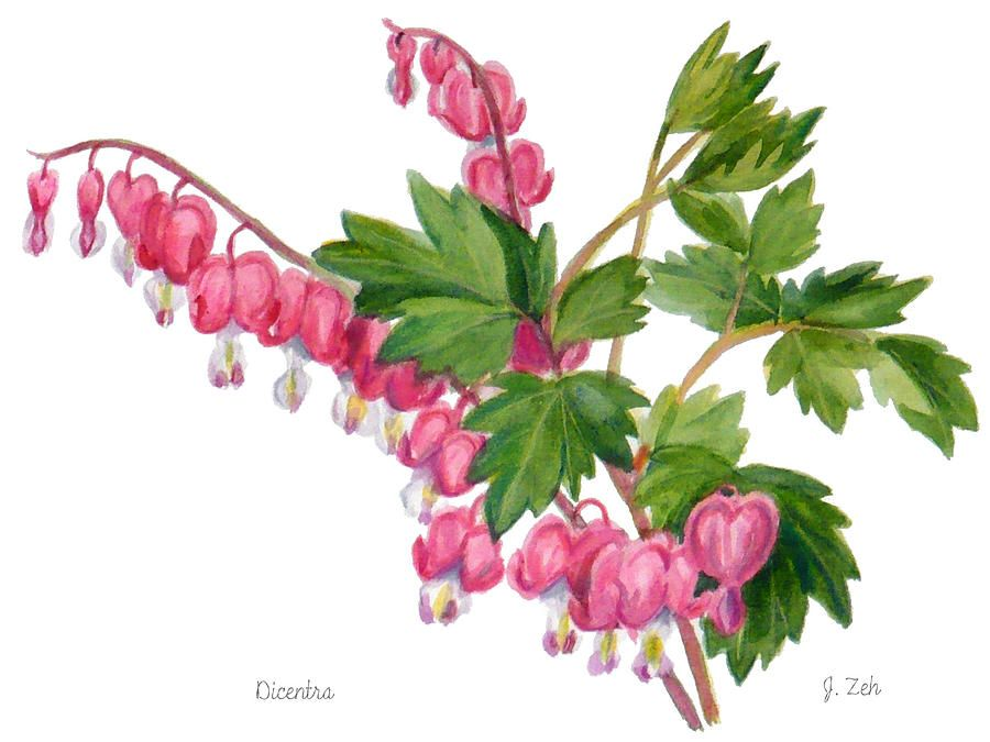 900x675 Bleeding Heart Dicentra Painting By Janet Zeh