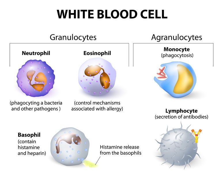 774x618 Labelled Diagram Of White Blood Cells