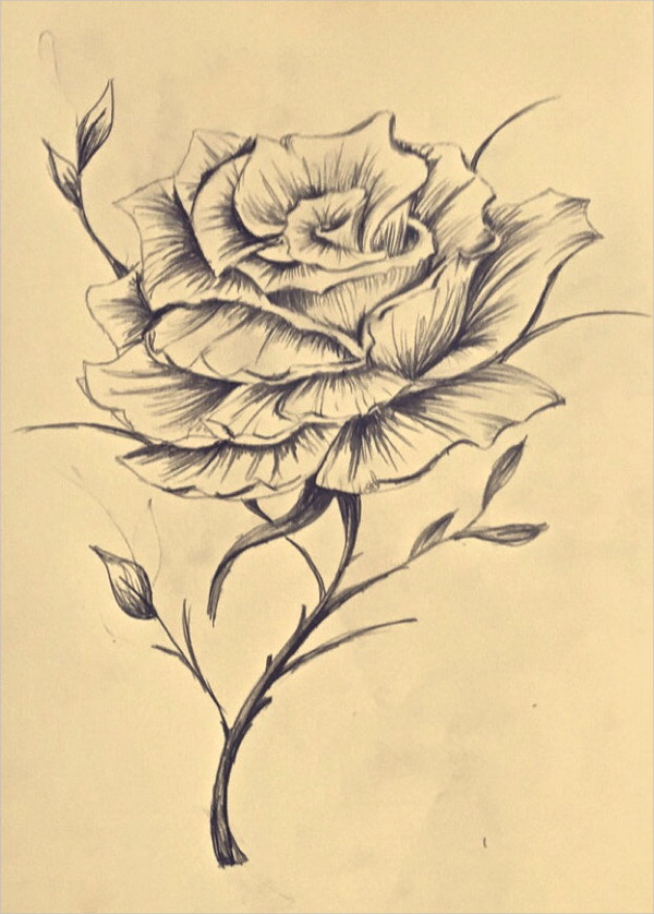 600x838 Rose Drawings