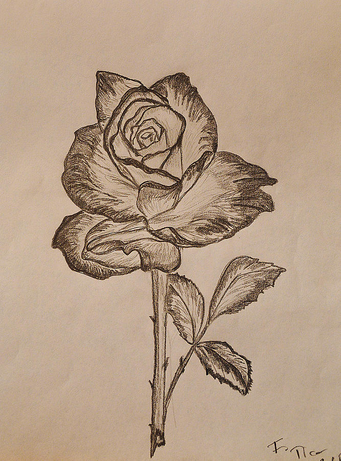 667x900 Blooming Rose Drawing By Felicia Tica