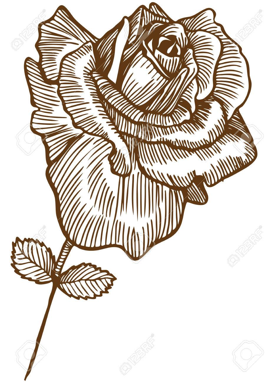 910x1300 Rose Drawing Four Beautiful Hand Drawn Rose Bloom Stem