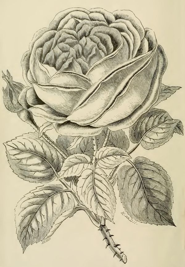 600x867 Beautiful Large Rose Drawing From 1871 With A Large Blooming Rose