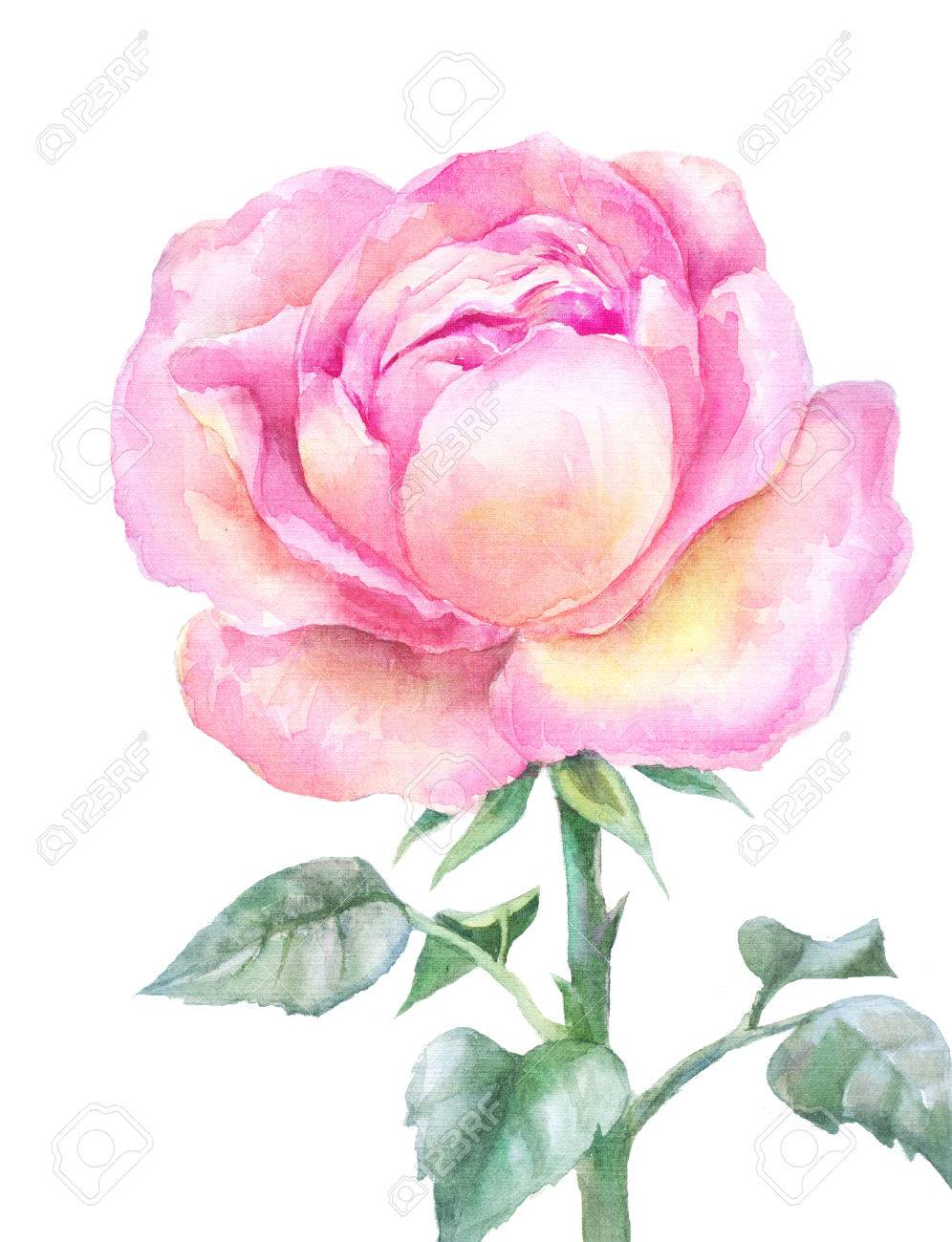 996x1300 Pink Blooming Rose In Watercolor Isolated On A White Background