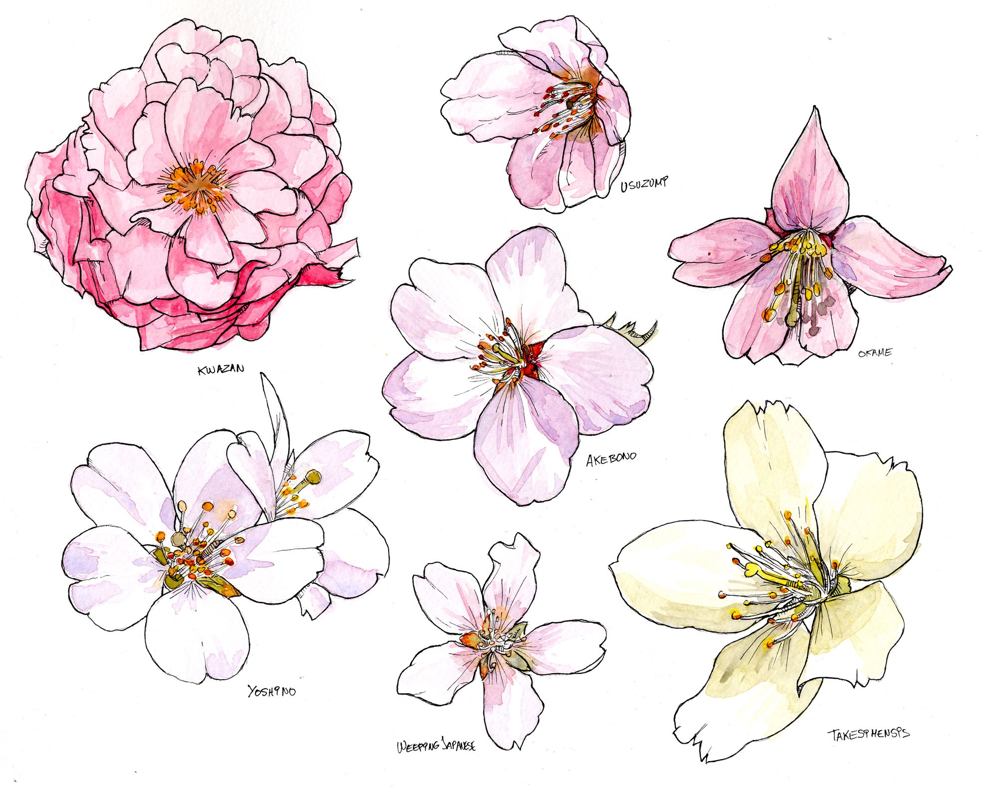 1984x1578 Cherry Blossom Species Cherry Blossoms, Cherries And Watercolor