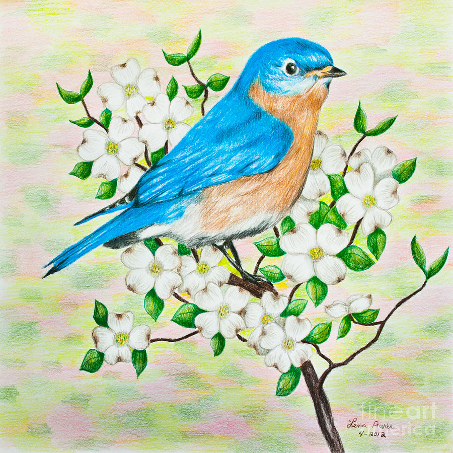 900x900 Bluebird And Dogwood Drawing By Lena Auxier