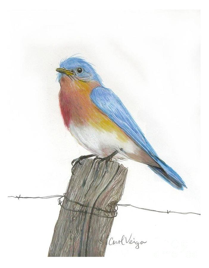 702x900 Eastern Blue Bird Drawing By Carol Veiga