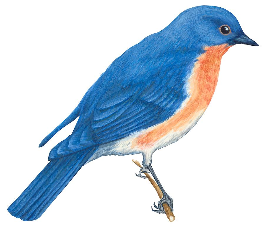900x777 Eastern Bluebird Drawing By Anonymous