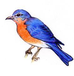 236x243 Eastern Bluebird Images