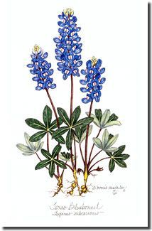 214x325 Texas Bluebonnet Flower Drawings Projects To Try