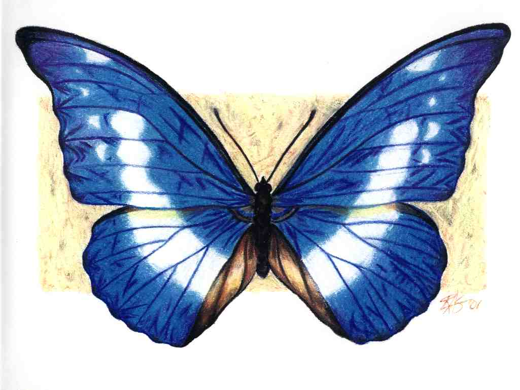 1025x770 Blue Morpho Butterfly Drawing
